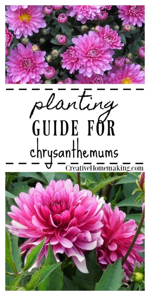 Easy tips for planting and growing chrysanthemums, a perennial favorite in many gardens.