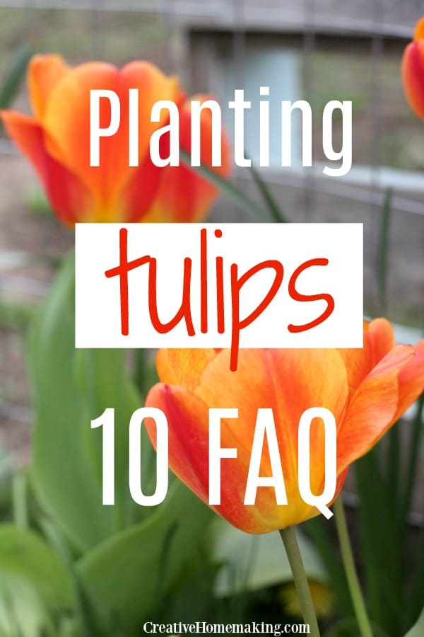 Easy guide to planting tulip bulbs. All your tulip questions answered!