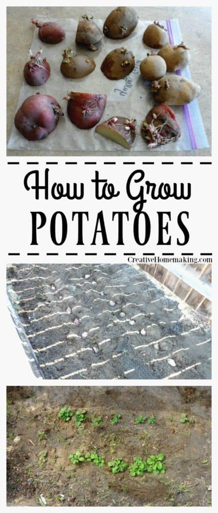 Growing potatoes is a fun activity the whole family can enjoy. They can be grown in trenches or in containers.