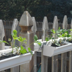 Easy DIY strawberry gutter garden you can install on your garden fence.