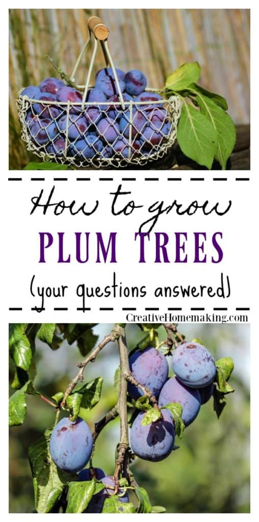 Information on growing and caring for plum trees.