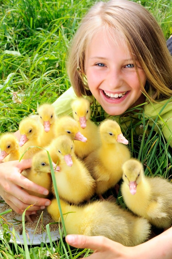 Girl holding an armful of playful yellow baby ducklings