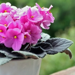 Pink African Violets in a pot
