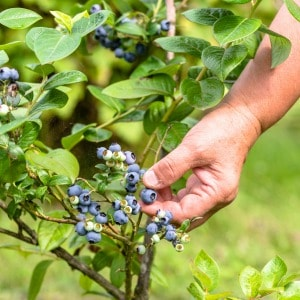 Easy hack for increasing the acid level of your soil for growing blueberries.