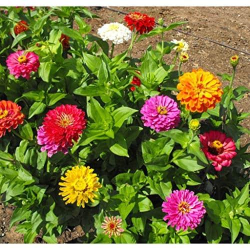 David's Garden Seeds Flower Zinnia Mixed Colors California Giants SL0987 (Multi) 500 Non-GMO, Heirloom Seeds