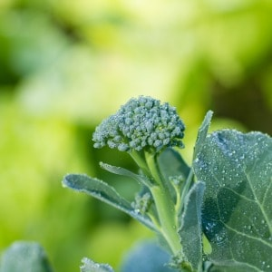 Tips for planting broccoli in spring or fall. Gardening tips for growing one of my favorite cool weather vegetables!