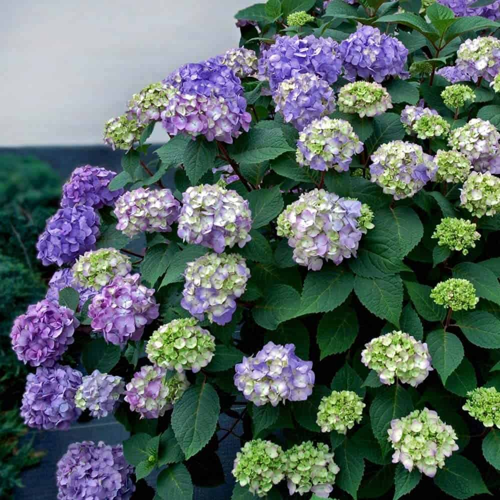 Endless Summer Hydrangea Endless Summer 1 Gal BloomStruck, Green