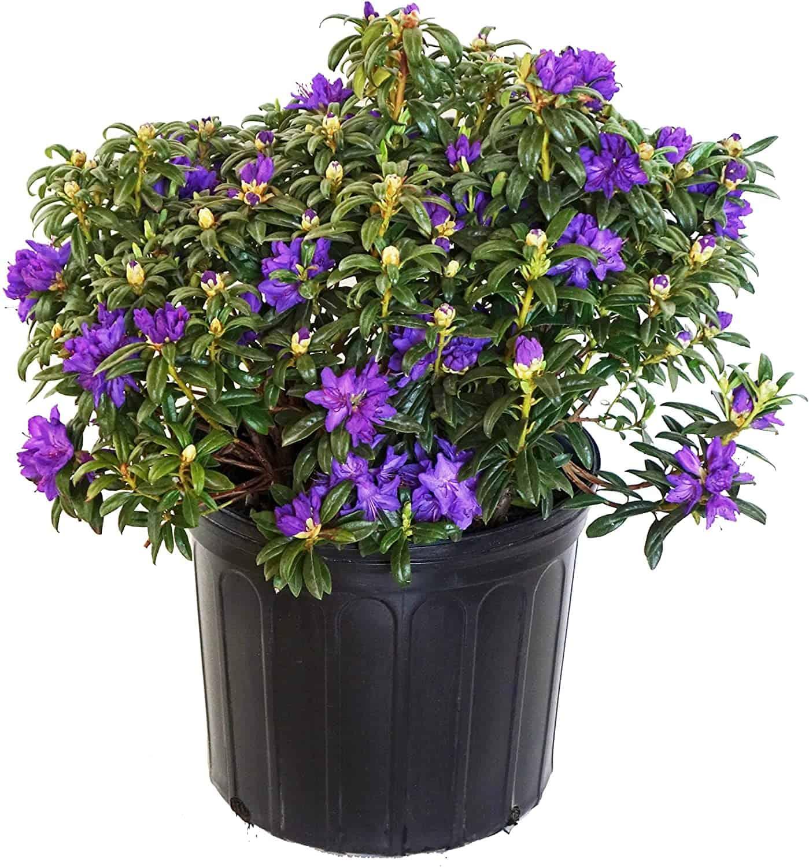 Rhododendron X 'Blue Baron' (Rhododendron) Evergreen, bluish purple flowers