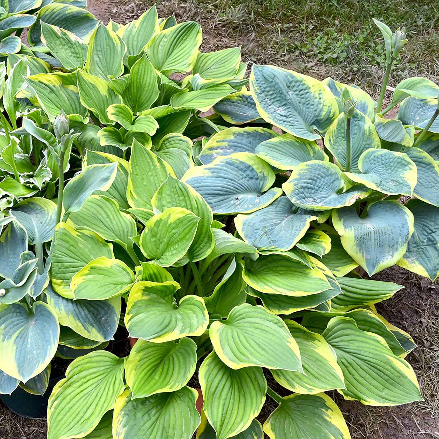 10 Bare Root Hostas - Fabulous Color for Shady Gardens