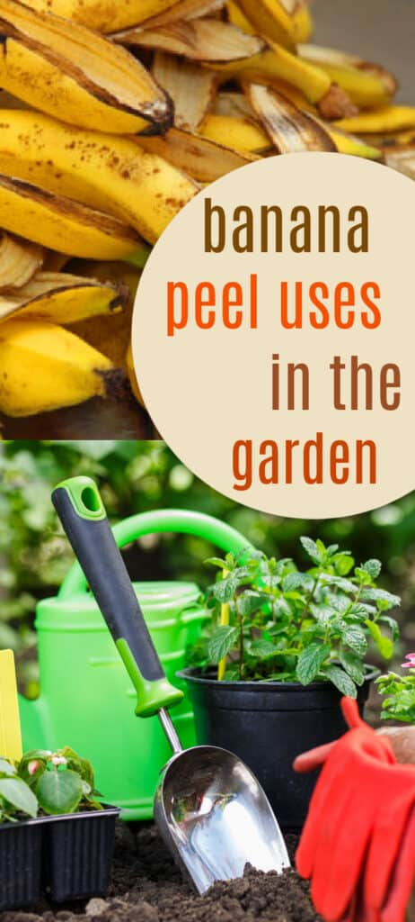 Find out the many uses of banana peels in the garden! Use banana peels to grow big beautiful blooms and promote healthy root and plant growth.