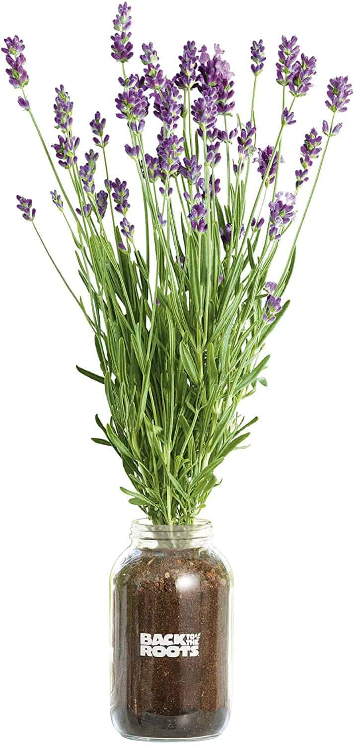 Back to the Roots Organic Lavender Year Round, Windowsill Indoor Garden Kit
