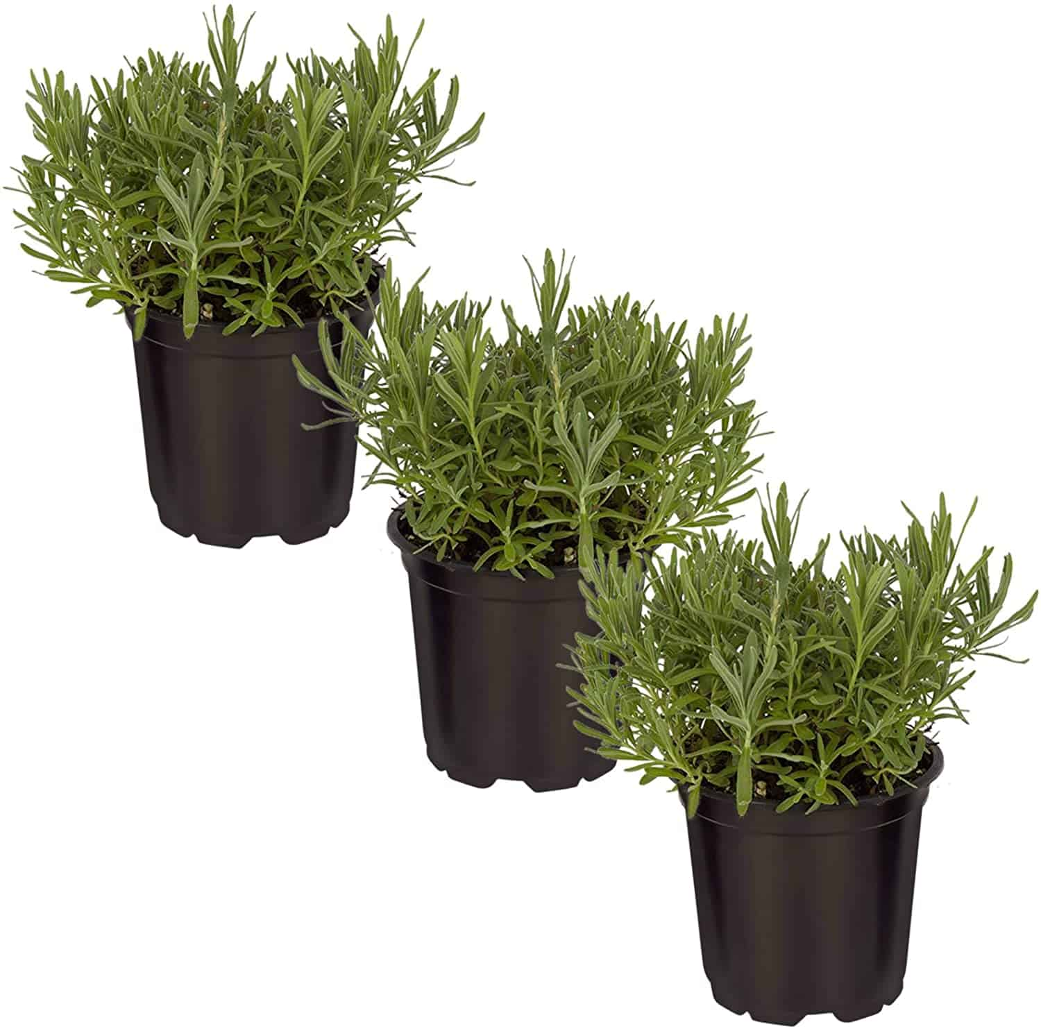The Three Company Live Lavender Herb (3 Per Pack) Aromatic and Edible Plant, Improves Sleep and Relaxation, 4.5