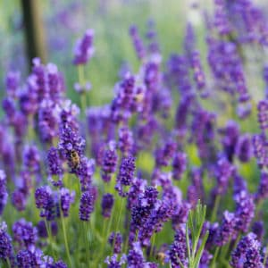 Expert gardening tips on how to grow lavender from cuttings. Rooting lavender in water or soil, plus tips, tricks and things to consider.